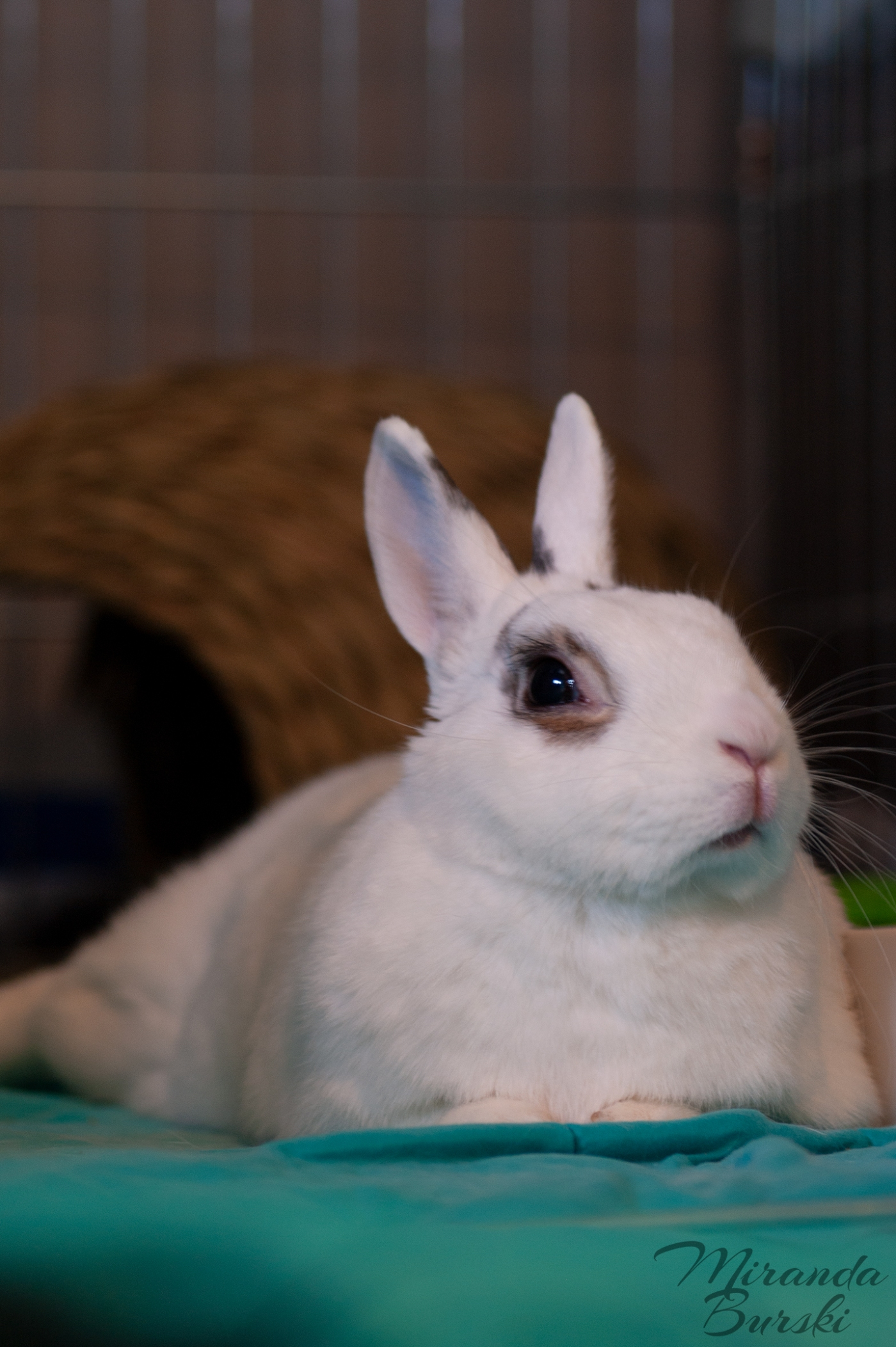 A white and black rabbit laying on a teal blanket.