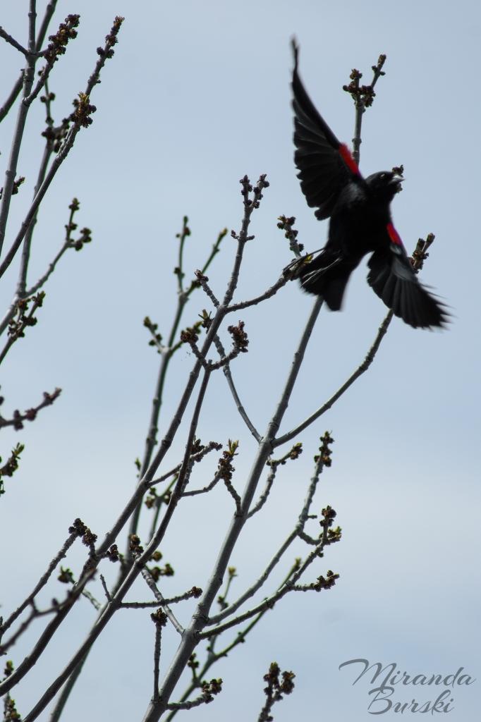 A red-winged blackbird taking flight.