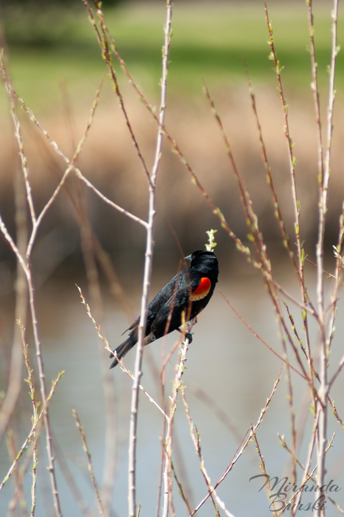 A red-winged blackbird sitting on a branch.