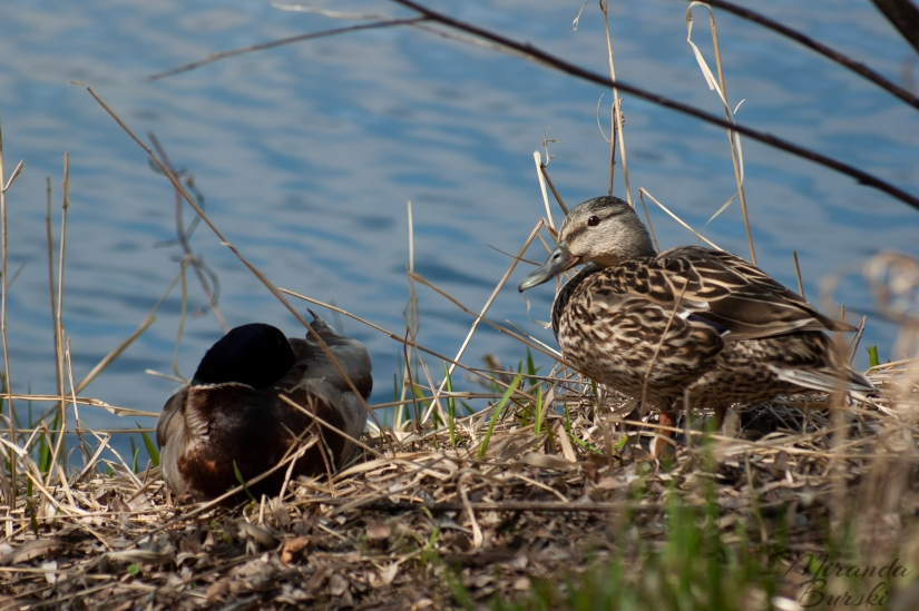 Two ducks sitting near a lake.