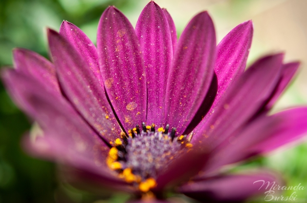 A close-up of a purple daisy, with pollen on its petals.