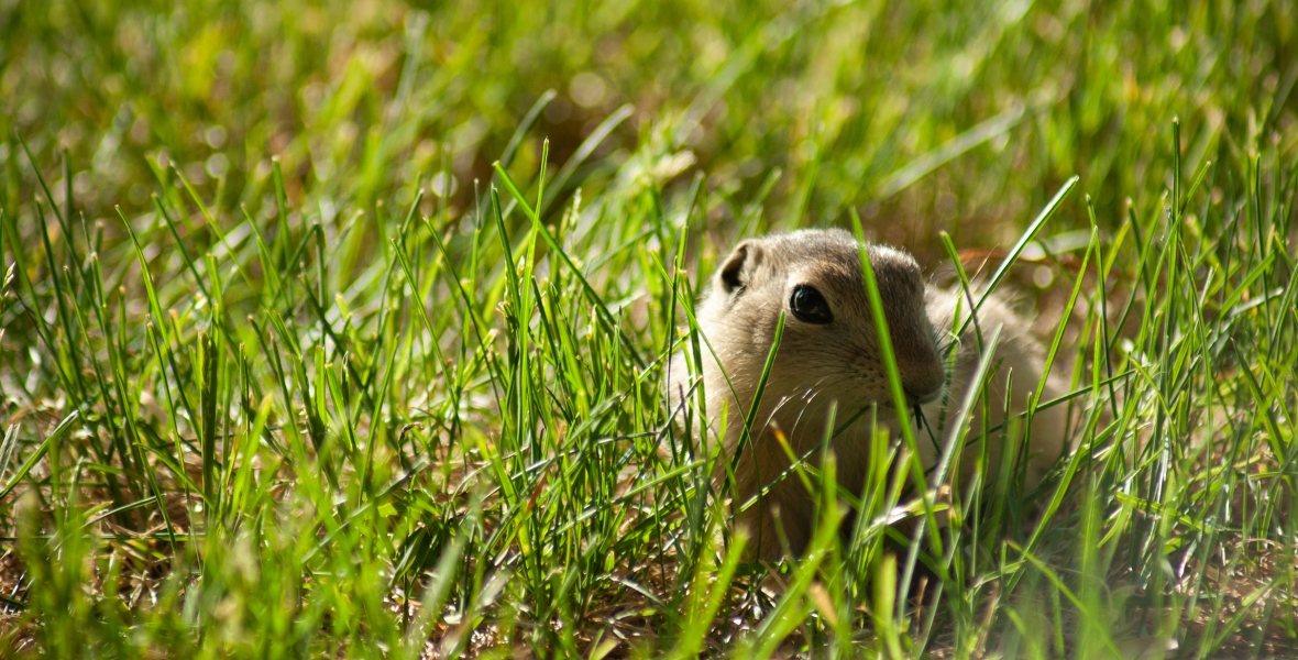 A young gopher in grass.