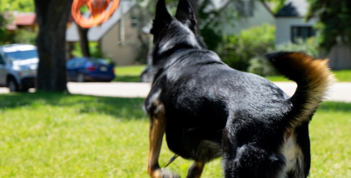 A German shepherd-border collie cross dog playing fetch