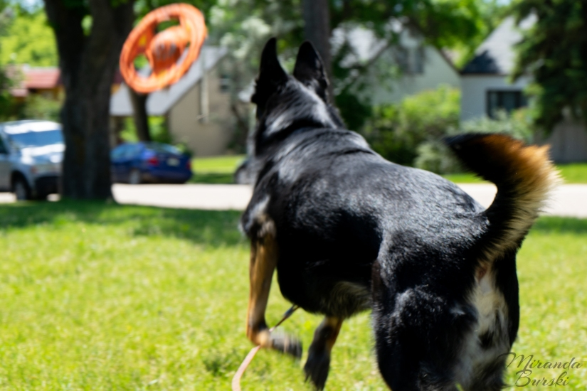 A German shepherd-border collie cross dog playing fetch