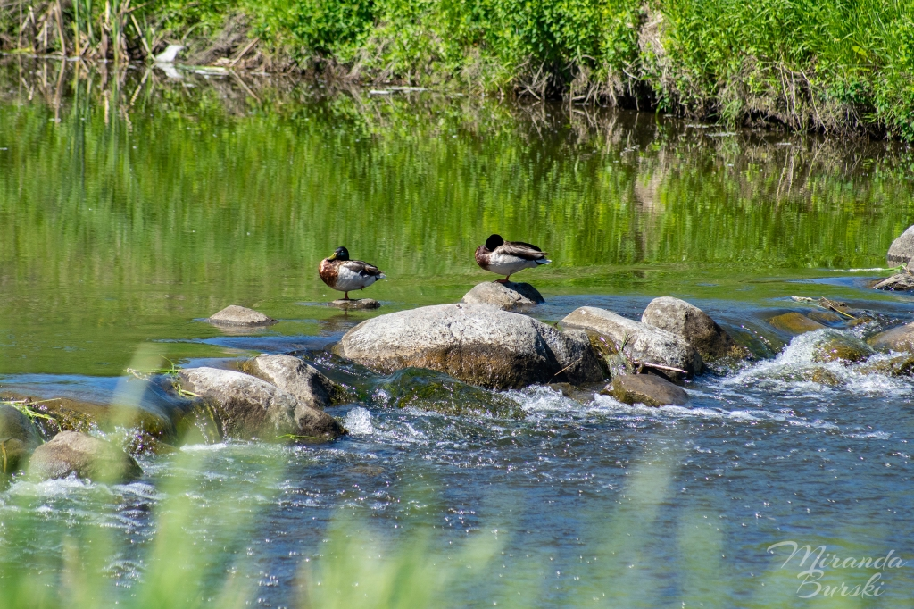 Two ducks resting on rocks in a creek.