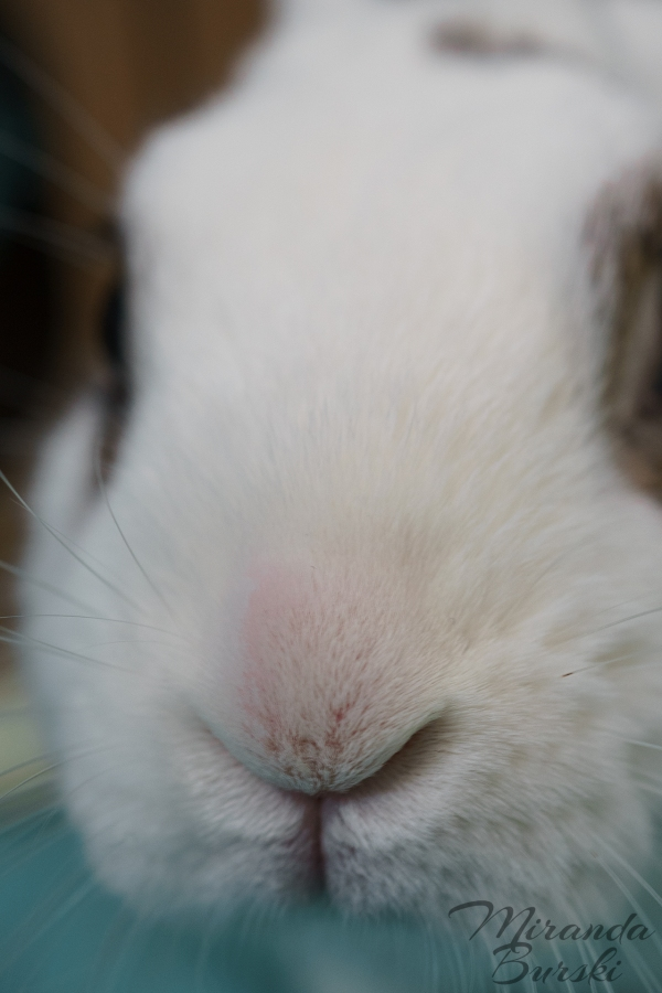 A close-up of a white and black rabbit's nose.