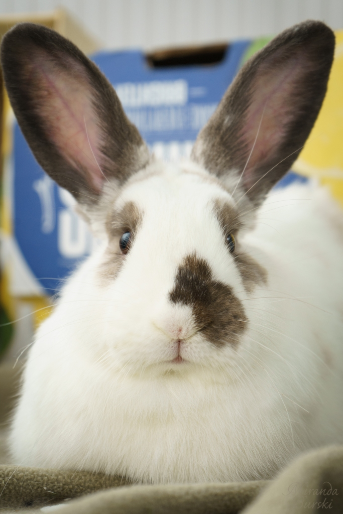 A spotted white rabbit with large ears.