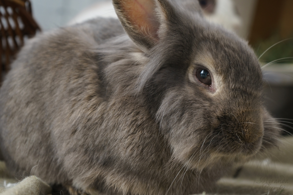 A small grey and brown rabbit.